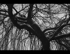 weeping willow first snow (.sxf) Tags: blackandwhite bw snow tree weide december 28mm willow weepingwillow baum willowtree trauerweide blackwhitephotos