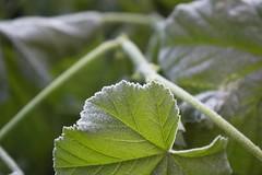 Frozen leaf (funadium) Tags: cold verde leave ice pentax foglia greeen freddo brrr brrrr brr ghiaccio k100d smcpentaxda1645mmf40edal justpentax smcpda1645mmf40edal