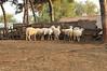 _DSC2124 (Fabio_Bianchini) Tags: gallo italia fotografia serie giorno fattoria ovino animaledomestico mandria figuraintera bestiame romacittà ambientazioneesterna senzapersone stareinpiedi soggetticonanimali 92911286 composizioneorizzontale capitaliinternazionali gruppomediodianimali