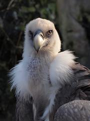 Please die (Hans & Liek) Tags: amsterdam birds zoo vulture fotosafari artis dierentuin gier valegier griffonvulture