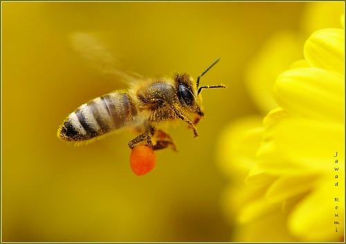 Bee fly - نحلة طائرة