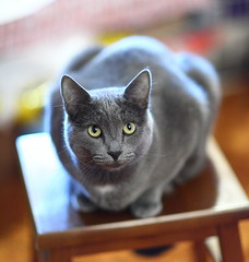 Smokey our Russian Blue (gbrummett) Tags: pet cats pets cute cat russianblue cutekitten bluerussian canon85mmf12liilens canoneos5dmarkiicameraandcanonef85mmf12liilens