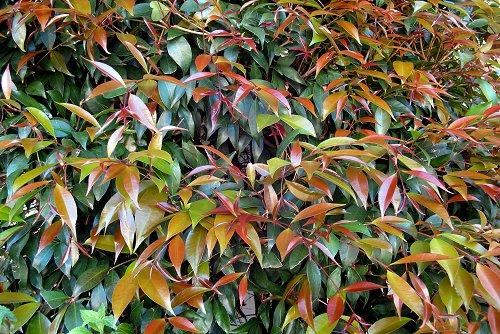 Syzygium paniculatum (rq) - 02