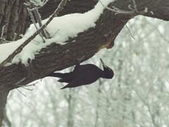 Goloseevo Forest (Stan Sorochan) Tags: winter bird nature forest ukraine zenit tair черная blackwoodpecker dryocopusmartius piciformes picidae желна phtosniper