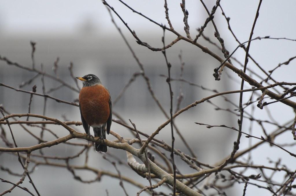 Solo Robin