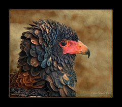 0283 Eagle (QuimG) Tags: naturaleza nature geotagged nikon eagle favorites natura textures aguila wingtips gener specialtouch finestnature theunforgettablepictures diamondstars quimg betterthangood thebestshot thirdlife novaphoto photoshopcreativo thedavincitouch vosplusbellesphotos tumiqualityphotography quimgranell joaquimgranell reservaespecial jotbesgroup mesarthonorablemembersgroup richardsfloraandfauna naturesqualitypictures naturesbestshot theparagongallery gettyimagesspainq1
