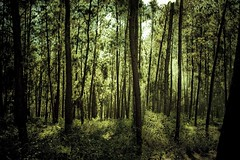 deep in the forest (Andy Kennelly) Tags: trees light green forest haiti mood shadows deep growth mysterious tall curve tones emerald depth sway soothing undergrowth kennelly mywinners portauprice ajax8055