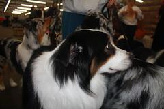 sanfrancisco dog dogshow cowpalace goldengatekennelclub