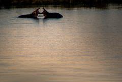 _IGP1544-2 (orang_asli) Tags: africa afrique faune gžographie kruger lieux nature aficionados afriquedusud animals bassin eau hyppopotame hyppopotamus mammal mammifre nationalpark naturel parcnational pool southafrica žtang géographie mammifère étang
