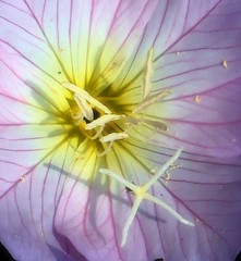 P Evening primrose (CameliaTWU) Tags: petals texas native stamens oenothera wildflower stigma eveningprimrose onagraceae speciosa pinkveins thisphotorocks