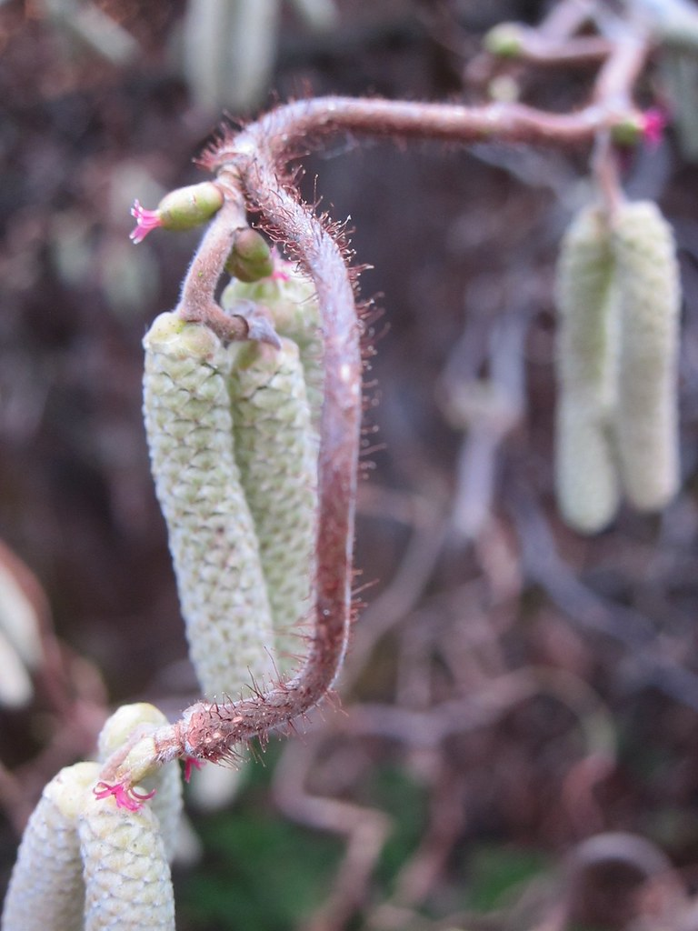 Contorted filbert female flowers and male catkins