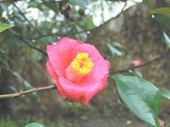 Camellia: Red: In Rain