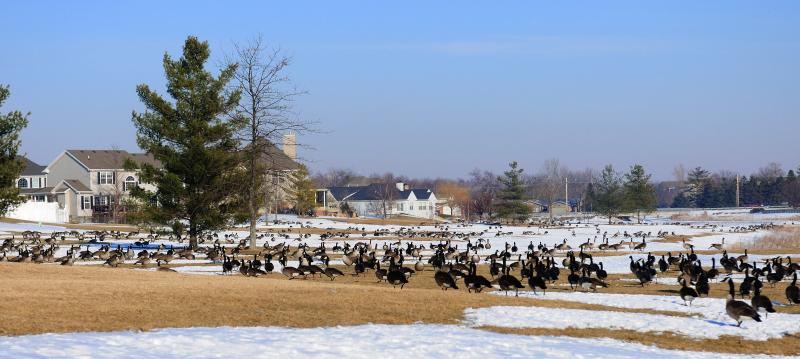 10.02.18 - Lots of Geese