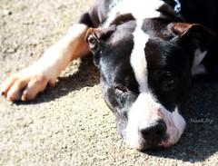 ... oggi mi sento un pò a terra (FranK.Dip) Tags: dog look animal cane canon eyes occhi sguardo animale brindisi eos450d frankdip