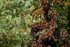 RBMM (Pablo Leautaud.) Tags: butterfly mexico lepidoptera monarch mariposa michoacan reserva edomex danausplexippus biosfera monarca pleautaud