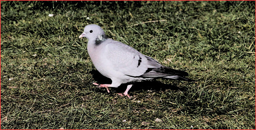 Stock Dove 5