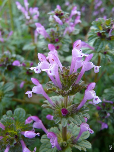 Little bits of henbit #2