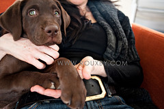 DSC_1957 (Rouxby Fine Art Photography) Tags: puppy labradorretriever dogphotography dogphotographer denverdogphotography wwwrouxbycom denverdogphotographer rouxbyphotography