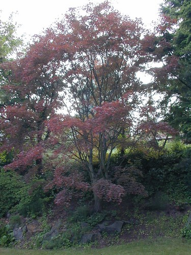Another view of the maple tree