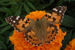 Painted Lady butterfly (Leo Reynolds) Tags: animal fauna butterfly insect iso100 f45 f30 finepix fujifilm 8mm hpexif 0002sec leol30random xleol30x xxx2010xxx