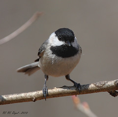 Got My Eye on You (Bill D114) Tags: mywinners avianexcellence goldstaraward distinguishedbirds birdperfect