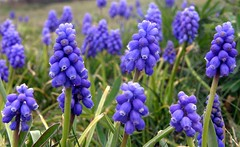 Happy Easter To All Our Flickr Friends! (ebirdman) Tags: grape hyacinth grapehyacinth