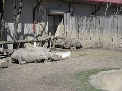 Cleveland Metroparks Zoo - Black Rhino (fkalltheway) Tags: ohio clevelandohio springbreak rhino rhinoceros zootrip blackrhino clevelandmetroparkszoo africansavannah fkalltheway