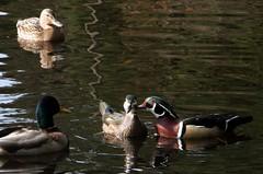 """Psst...did you hear about that mallard?"" (Edward Hanko) Tags: bird water reflections duck mallard"