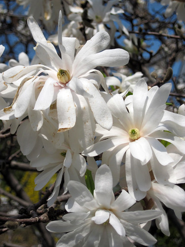 Royal Star Magnolia-Close-up