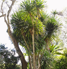 Dracaena specimen at Fairchild