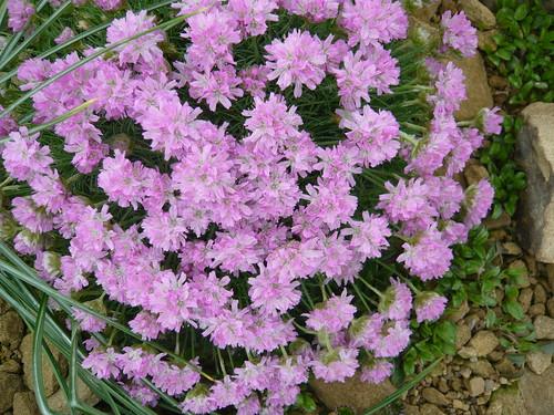 Armeria juniperfolia x maritima
