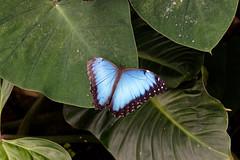 baudchon-baluchon-mindo-papillons-26