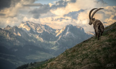 ^ Mount Nageli: Capricorn ^ (dmkdmkdmk) Tags: mountains alps nature animal clouds landscape mount hdr slope capricorn sntis churfirsten nageli ngelibergtoggenburger hhenwegsteinbocksntis ngeliberg
