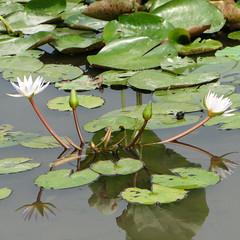 Water lily (ddsnet) Tags: travel plant flower waterlily sony cybershot aquatic   aquaticplants      lily water  tetragona water   hx1 lily nymphaeatetragona    nymphaea plants  aquatic nymphaea tetragona plantsnymphaea tetragona