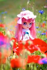 Red poppies, pink poppy