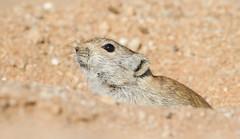 Brants's Whistling Rat (Parotomys brantsii) (George Wilkinson) Tags: brantss whistling rat goegap nature reserve south africa rodent wildlife canon 7d 400mm parotomys brantsii