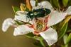 jewel beetle -1865 (Henry.Cook) Tags: jewelbeetle melaleuca buprestid tasmania