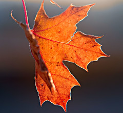 Fall. (dustin_j_williams) Tags: orange fall leaf nikon veins d90 105vr nikkor105mmf28gvrmicro