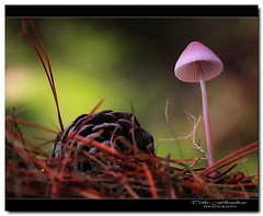 Rain is coming! (tolis*) Tags: autumn macro nature mushroom pine forest canon woods dof greece tamron chios 50d 90mmf28 tolis   flioukas