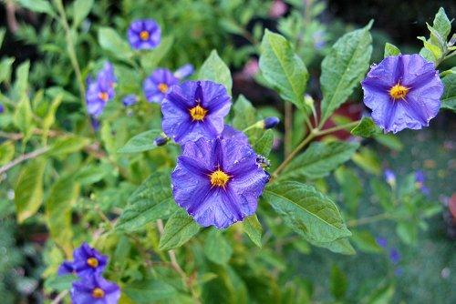 Solanum rantonnetii (rq) - 01