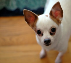 Exponential Cuteness (CarbonNYC [in SF!]) Tags: chihuahua dog cute cuteness tiny longing begging upwards looking look carbonnyc carbonsf