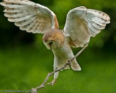 Barn Owl_DSC2068 (Cycroft Photo) Tags: ontario canada nature birds wildlife ngc raptor owl milton barnowl mountsbergwildlifecentre tytoalba d300 halton 7jun09shoot