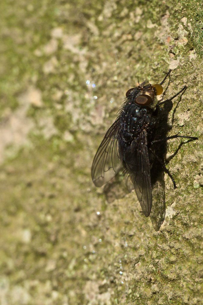 calliphora vomitoria