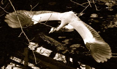angry heron