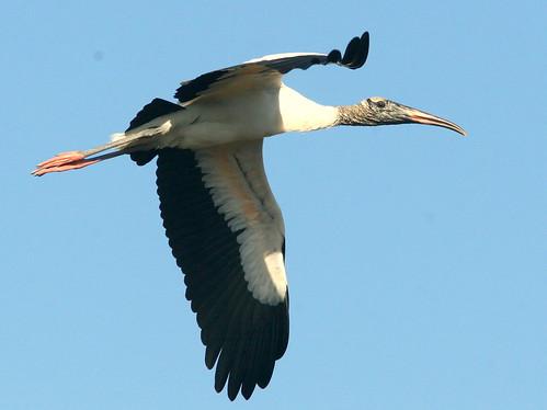 Wood Stork 20100118