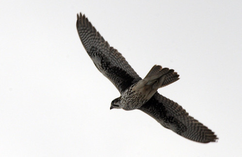 prairie falcon flying away