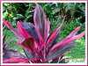 Cordyline terminalis/C. fruticosa or Ti Plant, Hawaiian Ti (hot pink/purplish maroon)