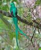 Resplendent Quetzal (3) (David Y. Allen) Tags: birds costarica resplendantquetzal pharomachrus quetzals mocinno