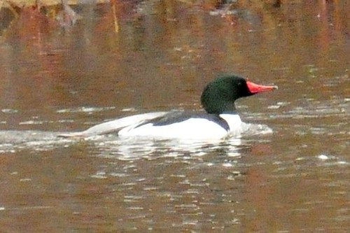 common merganser2