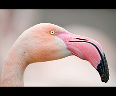 Portrait of a pink flamingo (Tambako the Jaguar) Tags: pink portrait bird closeup zoo switzerland bill nikon flamingo profile beak basel soil frame d300